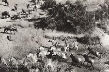 1934 Vintage AFRICA Kruger National Park Zebras Wildebeest Animals Photo Gravure