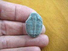 (F704-94) Trilobite fossil trilibites extinct marine arthropod I love fossils