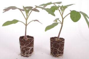 3x Piccolo Plug Plants Cherry Tomato (No Seeds) Garden - 1st Class Royal Mail