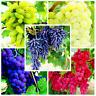 50 PCS Seeds Kyoho Grape Bonsai Garden Plants Fruit Free Shipping Rare 2019 New