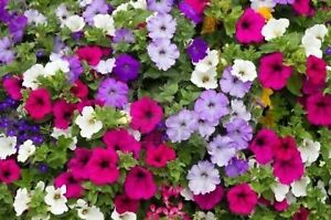 PETUNIA NANA COMPACTA SEEDS SCENTED FLOWERS MIXED COLOURS FLOWERS ALL YEAR ROUND