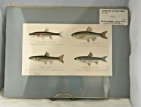 1905, 4 Fish- Naturalist Sherman F. Denton Authentic Antique Print Blue Mat
