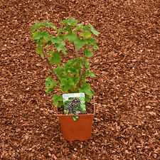 Black Red & White Currant Starter pack 1 of each in 2 litre pots, delivered FREE