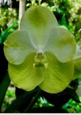 Vanda Green Lemon Blossom Flowering Sized XL Plant Hanging Orchid Orchids