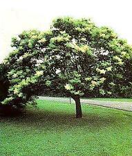 Japanese Tree Lilac 6 Seeds - Syringa - Fragrant -Shrub