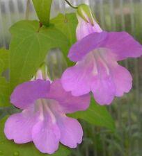 Asarina scandens Gloxinienwinde  rosa Blüten *Kletterpflanze