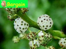 NATIVE MULBERRY,Pipturus argenteus,Fruit Tree,Spice,Bush Tucker,Herb,Berry,Pot