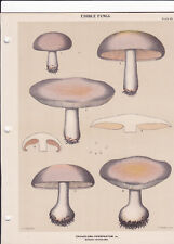 MUSHROOM PRINT. Edible Fungi Of New York. Circa 1900 ~Tricholoma Personatum