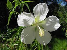 8 graines ETOILE DU TEXAS BLANCHE(Hibiscus Coccineus Alba)G234 SEEDS SAMEN SEMI
