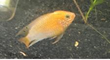 Apistogramma Macmasteri Gold Red Shoulder - Male