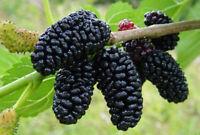 Black Mulberry Tree Morus Nigra Live Plant Dwarf Everbearing Fruit 3-Inch Pot