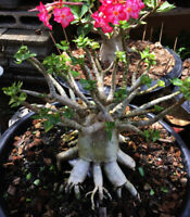 "ADENIUM THAISOCOTRANUM DESERT ROSE ""KHAOHINZON"" in pot 18 inches #1"