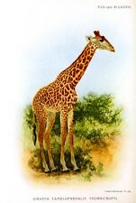 Postcard: Vintage Giraffe Print - 1918 - Repro.