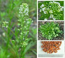 100 Organic Virginia Peppergrass Seeds ~ Medicinal & Culinary *Free US Shipping*