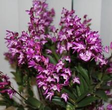 Dendrobium Ella Victoria Leaney cloned  Aussie dendrobium 50mm pot orchid