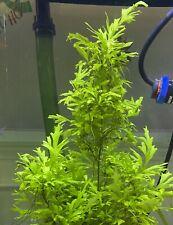 Broadleaf Water Sprite ◎ Ceratopteris cornuta Indian Fern  - Live Aquarium Plant