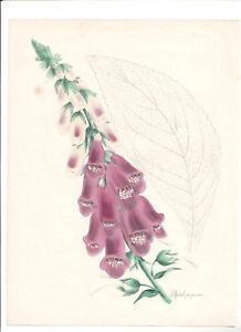 Plantae Utilitories Digitalis Purporea H/C. Burnett  print 1842