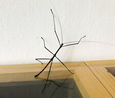 """Lopaphus sp. """"Cuc Puong"""" eggs x30 -stick insect -phasmid"""
