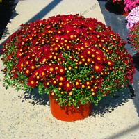 Groundcover Chrysanthemum Flores Seeds Plants Perennial Bonsai 100pcs/bag