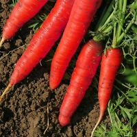 Atomic Red Carrot Seeds, Lycopene, NON-GMO, Variety Sizes, FREE SHIPPING