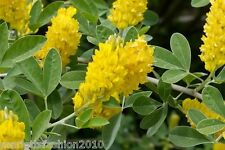Argyrocytisus battandieri Cytisus battandieri PINEAPPLE or Moroccan Broom 10