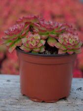 Pianta di Crassula Ovata Succulente Piante grasse succulenti vaso 10 grassa
