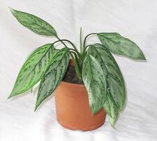 Zimmerpflanze / Grünpflanze: Kolbenfaden, für Büro oder Wohnung