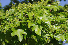 5 Field Maple Hedging, Native Trees Acer Campestre 2-3ft Plants,Autumn Colour
