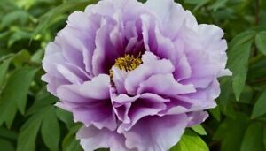 """ITOH PEONY PLANT """"PEARL"""" (NOT SEEDS) WITH EYES!"""