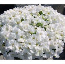 PETUNIA - NANA COMPACTA - SNOWBALL WHITE approx 200 seeds