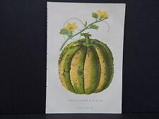 Fruit, Practical Gardener, English (Scarlet-Fleshed Rock Melon) #04