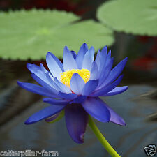 Blue Nelumbo Nucifera China Beautiful Lotus Pad Flower Pond Lotus 7 Seeds