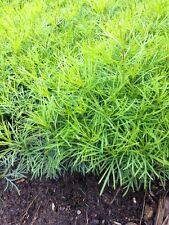 COREOPSIS Plant Yellow MOONBEAM Fern Foliage Flowers * 1 Clump Perennial