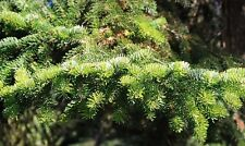 ABIES NORDMANIANA  15  SEEDS- The best Christmas trees. no needle loss.