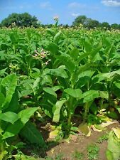 Cultivated Tobacco Seeds - Nicotiana Tobacum - approx 500 or 2000 seeds