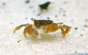 "soft plastics bait Red Wine w//blue glitter Item#131 24ct 3/""Saltwater Crabs"