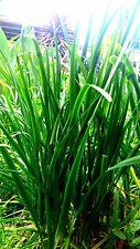 Garlic Chives x 50 seeds Herb, perennial