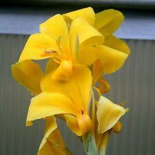 Canna glauca 'Ra' - 10 seeds