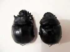 Heliocopris bucephalus PAIR Dung Beetles Taxidermy REAL Unmounted