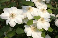 12 Graines de fleurs Clématite Grosses Blanches Mme LECOULTRE vivace Méthode BIO
