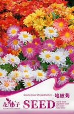 Original Package Ground-cover Chrysanthemum Seeds 30 Seeds Morifolium Seed A274