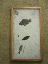 LARGE  mural of several Fossil fish leaf Priscacara diplomystus 15 x 26 inches