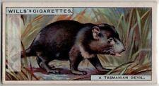 Tasmanian Devil Australia Marsupial Carnivour 90+ Y/O Ad Trade Card