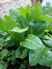 VEGETABLE  SPINACH PERPETUAL  14 GRAM ~ 700 SEEDS