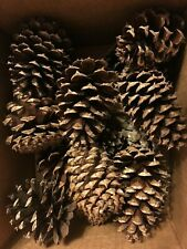 15 Craft Supplies Winter Wreath Scotch pine cones Home Decorations pinecones
