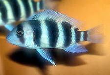 SIX FISH 6 X FRONTOSA AFRICAN CICHLID CYPHOTILAPIA 5CM TANGANYIKA GROUP