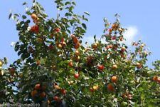 Lotusbaum Lotuspflaume Frosthart 10 Samen