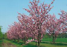 Prunus serrulata FLOWERING CHERRY TREE Seeds!