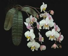 MOS. Orchid Species Phalaenopsis philippinensis (small seedling, RARE)