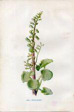 Stampa antica fiori OMBELICO DI VENERE Cotyledon botanica 1878 Old Print flowers